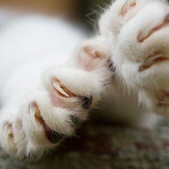 Когти кошки отслаиваются и отпадают сами